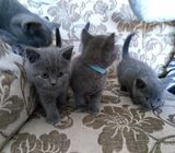 Scottish Fold kittens ready