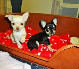Beautiful Chihuahua Puppies