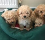 Kc Pedigree Toy Poodle