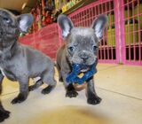 AMAZING, FRENCH BULLDOG PUPPIES