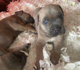 Stunning Cane Corso pups