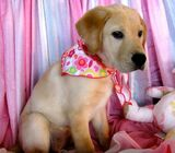 Full pedigree Labrador puppies