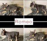 French Bulldog Puppies For Xmas Gifts ( Romeo )