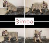 Adorable KC reg French Bull pups for sale ( Simba )