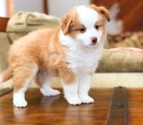 Charming Australian Shepherd Puppies For Sale