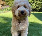 Beautiful goldendoodle Male and Female looking for re-home