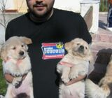 Golden Retriever Litter of puppies for sale