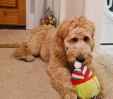 Beautiful golden doodle standards male & female looking for re-home