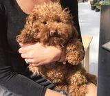 Lovely Poodle Puppies Avaialable