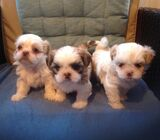 Purebreed Shih Tzu Puppies Available