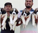 Saint Berdard Puppies for Sale
