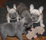 Reg French Bulldog Puppies   Gorgeous Playful Lovely