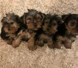 Gorgeous Yorkshire Terriers