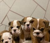Red And White English Bulldogs