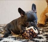 Adorable French Bulldog Puppies