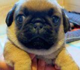 Pug Tzu Puppies