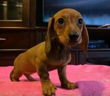 Amazing Kc Dachshund Puppies For Sale