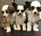 Amazing KC Chinese Crested Puppies  For Adoption