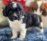 Albert| Male • 5 weeks - Cavapoo