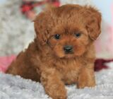 Madison | Female • 9 weeks | Champion Bloodlines - Cavapoo