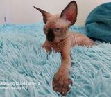 Beautiful Sphinx For Sale