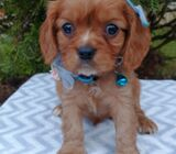 Super playful and sweet Cavalier King Charles Spaniel available