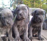 Cane Corso Italian Mastiff puppies