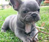 Say hello to Barkley! This sharp looking French Bulldog puppy