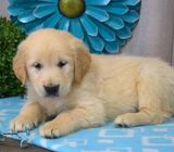 Are you looking for a cuddly Golden Retriever puppy? Lado