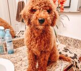 Smart and Charming Goldendoodle Puppy Available