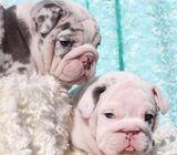 Forever Ready English Bulldog Puppies