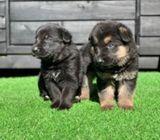 Amazing German Shepherd Pups