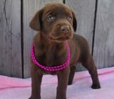 Adorable Labrador Retriever