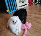Lovely Teacup Pomeranian Puppies for Sale !