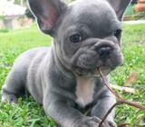 Adorable French bulldog  puppies for Sale !