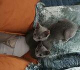 Pure Russian Blue Kittens