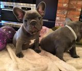 Blue French Bulldogs puppies