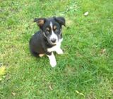 Cute home border collie puppies