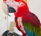 Super Hand Tame Green Wing Macaw For Sale